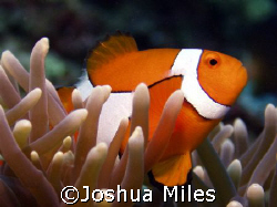 One of many nemos- GBR by Joshua Miles